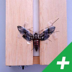 Preparácia motýľov